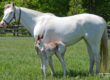 Rare Colored Lucky Pulpit Foal Delivered